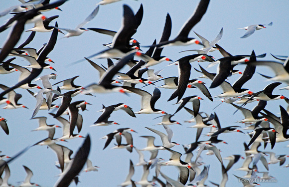 Skimmers and Terns in Flight