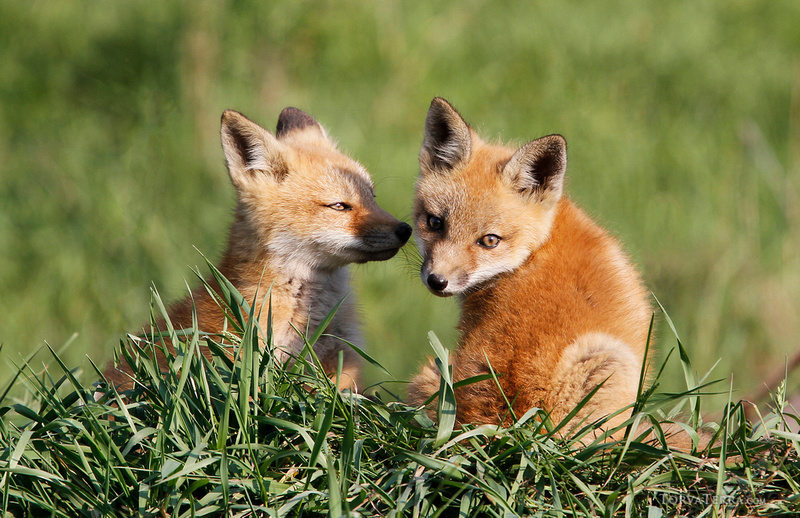 Torva Terra LLC | On Finding and Photographing Wild Fox Kits