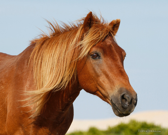 Mare in the dunes at Assateague.