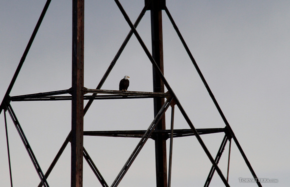 Lone eagle on the tower at Conowingo